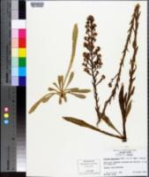 Carphephorus paniculatus image