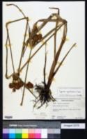 Image of Cyperus cephalanthus