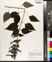 Salvia mexicana image