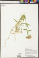 Phlox floridana image