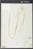 Sphenopholis pallens image