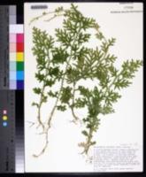 Selaginella uncinata image