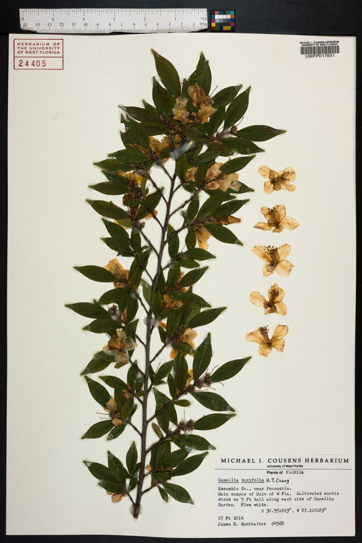 Camellia buxifolia image