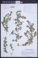 Ononis repens image