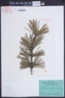 Pinus mugo image
