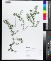 Galium concinnum image