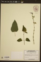 Image of Salvia guaranitica
