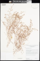 Image of Euphorbia parishii