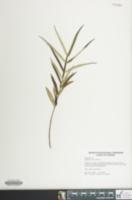 Image of Euphorbia ipecacuanhae