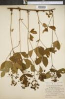 Image of Rubus adjacens
