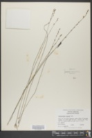Utricularia juncea image