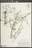 Agalinis tenuifolia var. tenuifolia image