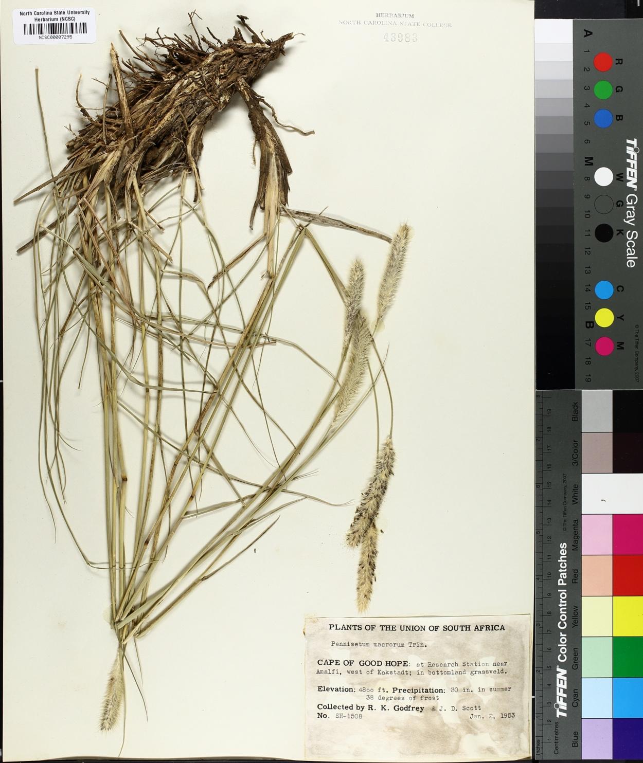 Pennisetum macrourum image