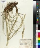 Image of Pennisetum macrourum