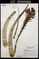 Aloe arborescens image