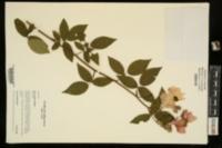 Rosa setigera image