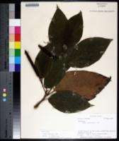 Image of Piper lacunosum