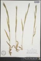 Image of Panicum praecocius