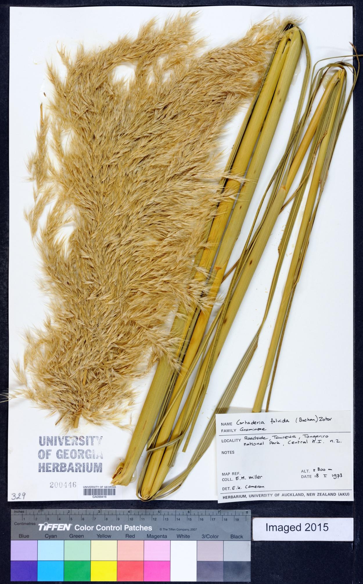 Austroderia image