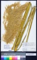 Image of Austroderia fulvida