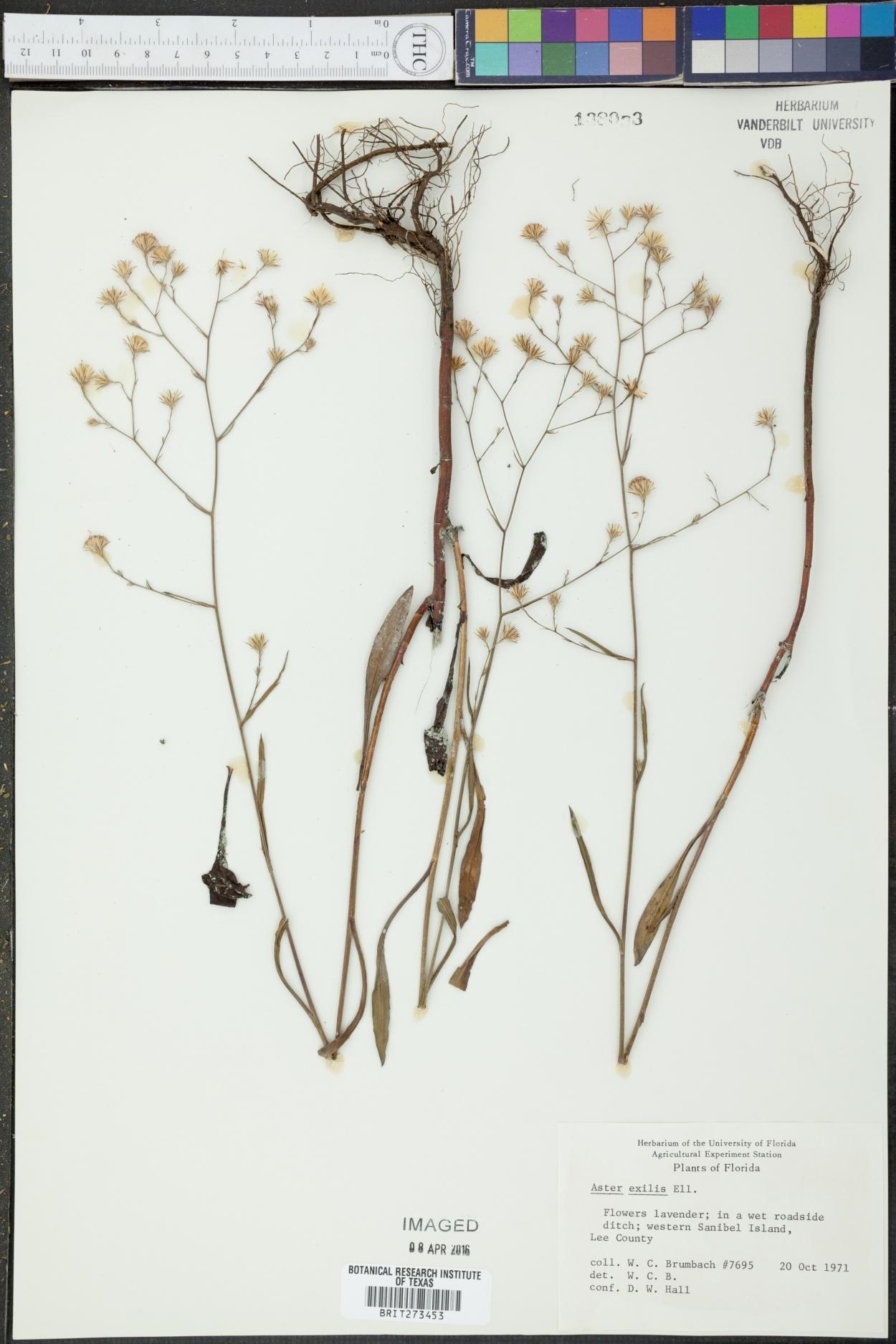Symphyotrichum subulatum var. elongatum image