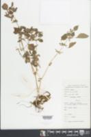 Image of Pilea fasciata