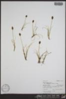 Carex breweri image