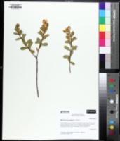 Image of Hypericum crux-andreae