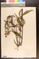 Helianthus divaricatus image