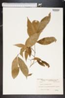 Image of Litchi chinensis