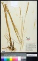 Thinopyrum pungens image