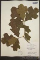 Quercus stellata var. stellata image