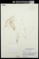 Athysanus pusillus image