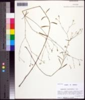 Image of Euphorbia discoidalis