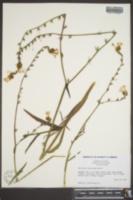 Image of Amsinckia eastwoodae