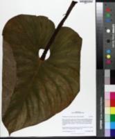 Image of Philodendron fragrantissimum