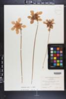 Sarracenia x ahlesii image