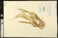 Image of Panicum laxiflorum