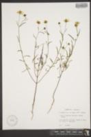 Image of Helianthus porteri