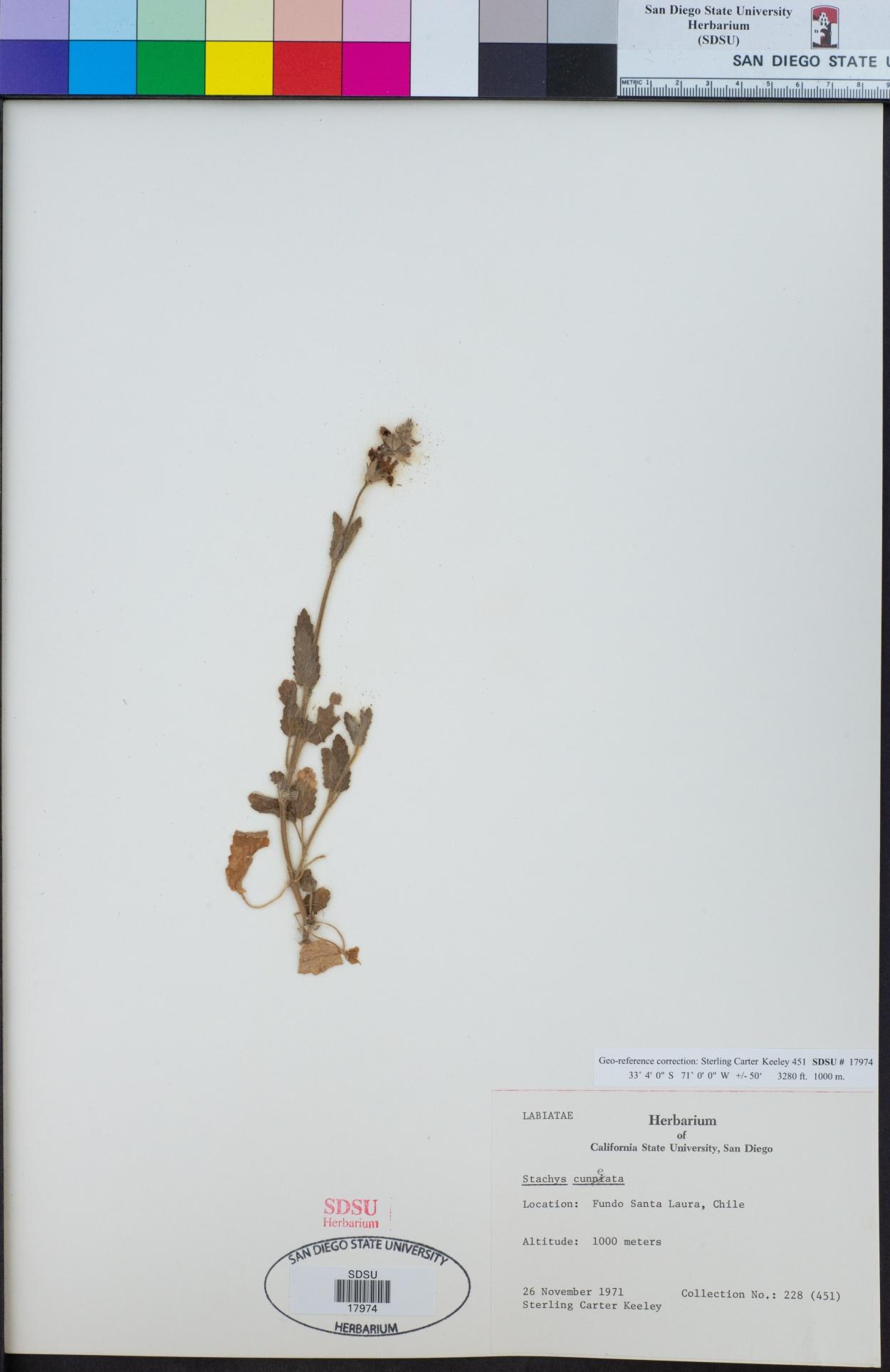 Stachys cuneata image