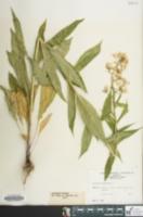 Hesperis matronalis image