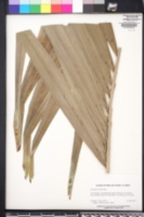 Image of Adonidia merrillii