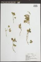 Potentilla indica image
