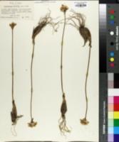 Image of Validallium tricoccum