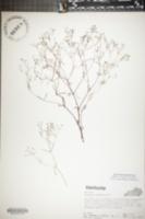 Image of Houstonia tenuifolia