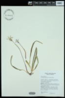 Tristagma uniflorum image