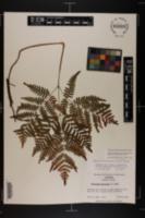 Pteridium aquilinum image