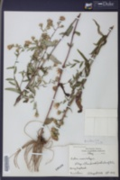 Aster curtisii image