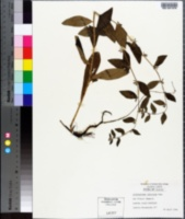 Lithospermum tuberosum image
