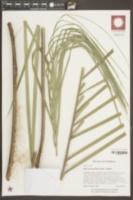 Image of Butia odorata